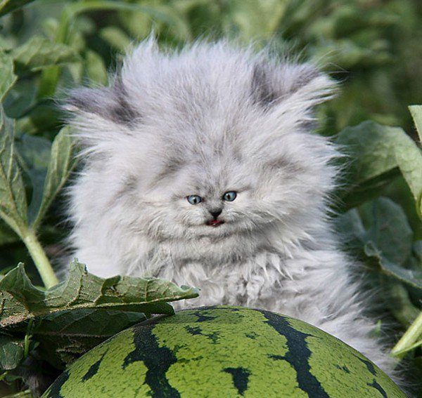 cats-with-tiny-faces-is-the-adorable-photoshop-battle-we-need-24-photos-25